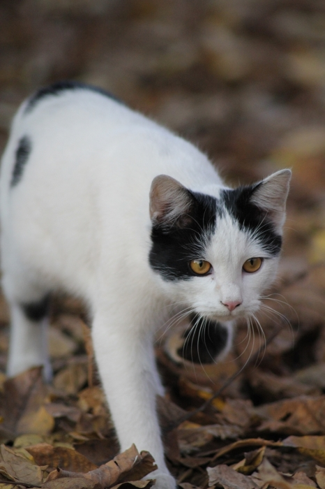 pisica alba neagra