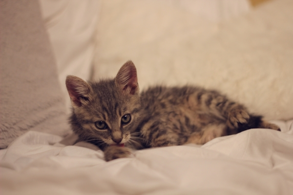 pisica rasa comuna